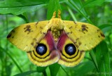 Automeris io - 7746 - Io moth