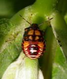 Stinkbug nymph (unidentified)