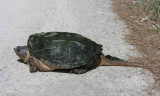 Chelydra serpentina - Snapping Turtle - side view