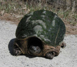 Chelydra serpentina - Snapping Turtle - front view