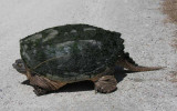 Chelydra serpentina - Snapping Turtle - defensive pose