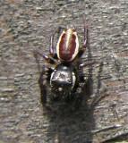 Eris militaris - Bronze Jumping Spider - male