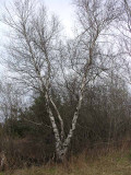 Betula populifolia - Grey Birch