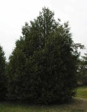 Thuja occidentalis - Eastern White Cedar