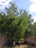 Pinus strobus - White Pine