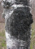 black-fungus-aspen.jpg
