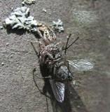 Eris Militaris - Bronze Jumping Spider - female with prey