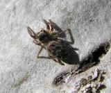 Eris militaris - Bronze Jumping Spider - female