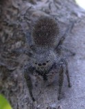 Mystery Jumping spider - view 2