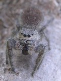 Mystery Jumping spider - view 3