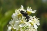Cyrtophorus verrucosus - view 3