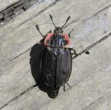 Oiceoptoma noveboracense (?) - Carrion beetle