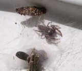 Eris militaris - Bronze Jumping Spider - pair in silky refuge
