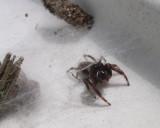Eris militaris - Bronze Jumping Spider - male at entrance to refuge