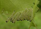 sawfly larvae on Red Oak leaf