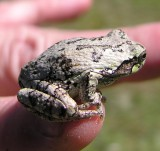 Hyla versicolor - Gray Treefrog - view 2