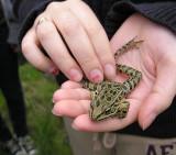Rana pipiens - Leopard Frog - view 2