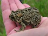 Bufo americanus - American toad - view 1