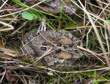 Bufo americanus - American toad - view 2
