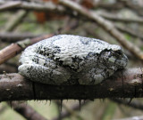 Hyla versicolor - Gray Treefrog - on rose cane - view 1