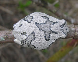 Hyla versicolor - Gray Treefrog - on rose cane - view 2