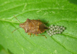 Spiny Stink Bug laying eggs - view 2