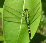 Eastern Pondhawk - Erythemis simplicicollis