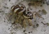 Salticus scenicus - female