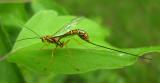 Megarhyssa macrurus - Giant-ichneumon - view 1
