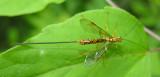 Megarhyssa macrurus - Giant-ichneumon - view 2