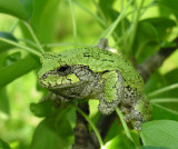 Hyla versicolor - Gray Treefrog