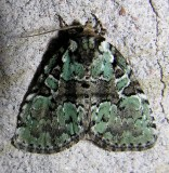 Leuconycta lepidula - 9066 - Marbled-green Leuconycta