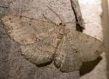 gold-moth-17-06-2007.jpg