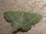 mint-moth-17-06-2007.jpg