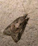pink-grey-moth-17-06-2007.jpg