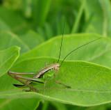 Metrioptera roeselii (?) - young Roesel's Katydid