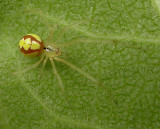 Theridion frondeum (probable) - view 2
