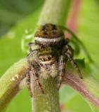 Phidippus clarus - female - view 2