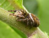Phidippus clarus - female - view 3