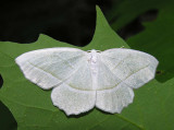 Campaea perlata - 6796 - Pale Beauty Moth