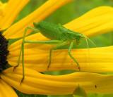 katydid-nymph-large.jpg