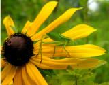 katydid-susan-large.jpg