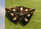 Anania funebris glomeralis -4958a - White-spotted Sable Moths