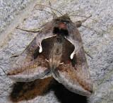 Autographa pseudogamma - 8913 - False Silver-Y Moth