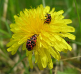 Coleomegilla maculata - pair