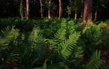 Fern-Woods