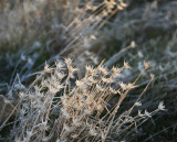 Glistening-Grasses-2