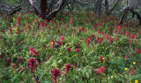 Indian-Warrior-Flora-in-Manzanita-Forest