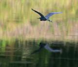 Little Blue Heron over Water