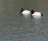 Canvasback Bookends